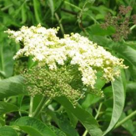 Elderflower Organic Hydrosol