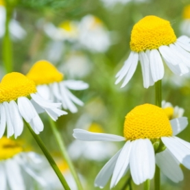 Chamomile, German CO2 Extract Total