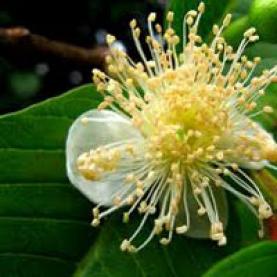 Guava Leaf Essential Oil