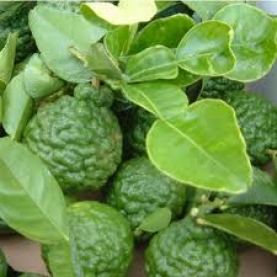Kaffir (Makrut) Lime Peel Essential Oil