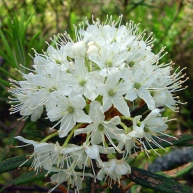 Greenland Moss (Labrador Tea) Ledum Essential Oil