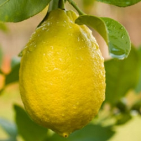Lemon, Steam Distilled Essential Oil