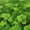Oregano Essential Oil - Bulgaria