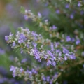 Rosemary Camphor Essential Oil