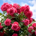 Rose Otto Essential Oil - Bulgaria