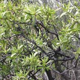 Sandalwood spicatum Essential Oil - Australia
