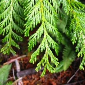 Thuja (White Cedar) Essential Oil