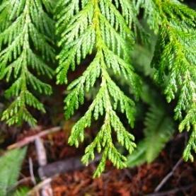 Thuja (White Cedar) Essential Oil