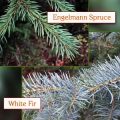 Engelmann Spruce/White Fir Essential Oil (Co-distill)