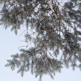 White Spruce Essential Oil