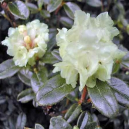 Rhododendron Essential Oil