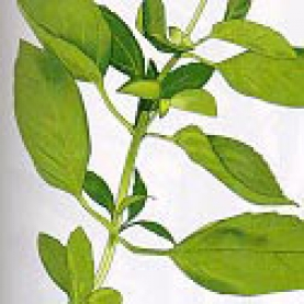 Exotic or Tropical Basil  Essential Oil