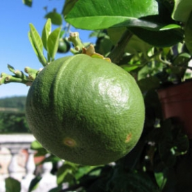Bergamot, Steam Distilled Essential Oil