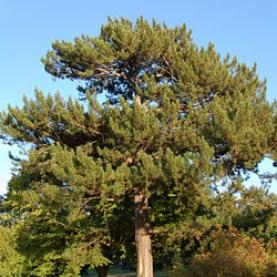 Black Pine Corsica Essential Oil