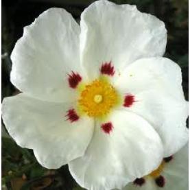 Cistus (Rock Rose) Essential Oil