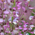 Clary Sage Essential Oil - S. Africa