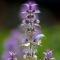 Clary Sage Essential Oil - Spain