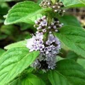 Cornmint (Wild Mint) Essential Oil