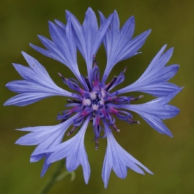 Cornflower (Bluet) Organic Hydrosol
