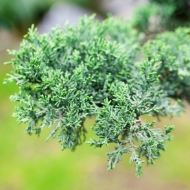 Juniper, Wild High Mountain Essential Oil