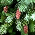 Engelmann Spruce Essential Oil - Special Edition