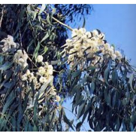 Eucalyptus masala Essential Oil