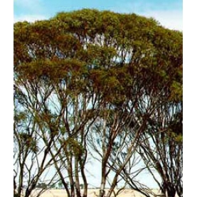 Eucalyptus plenisima Essential Oil