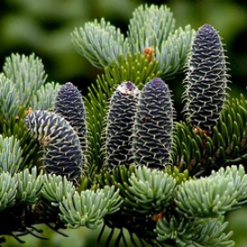 Fir Balsam Essential Oil - Canada