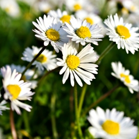 Chamomile, German Essential Oil - England