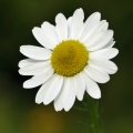 Chamomile, German (Blue) Essential Oil - S.Africa
