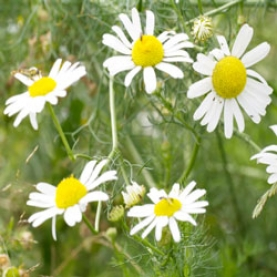 Chamomile, German Essential Oil - Nepal