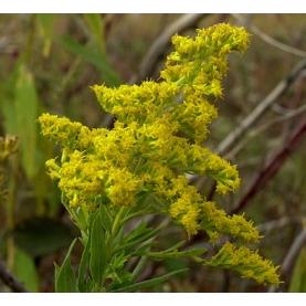 Goldenrod Organic Hydrosol