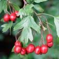 Hawthorn Organic Hydrosol