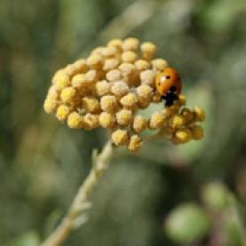 Helichrysum Bracteiferum Essential Oil