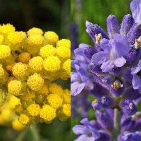 Helichrysum Lavender Specialty Blend