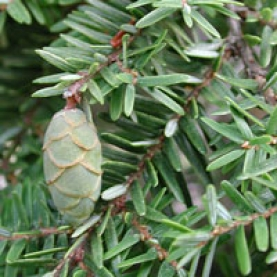 Hemlock Essential Oil