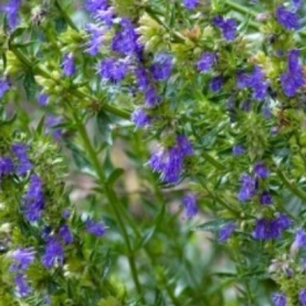 Hyssop decumbens Essential Oil
