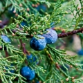 Juniper, One Seed Essential Oil