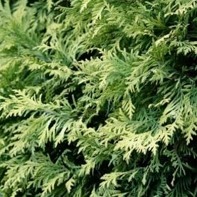 Juniper Leaves Only Essential Oil