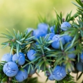 Juniper Berries and Leaves Essential Oil