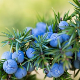 Juniper Berry and Leaves Essential Oil