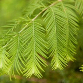 Larch (Tamarack) Essential Oil