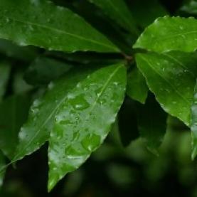 Laurel Leaf Organic Hydrosol