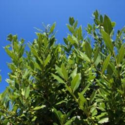 Laurel Leaf, Bay Essential Oil