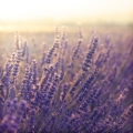 Lavender Fine, Wild Essential Oil - France - Limited Reserve