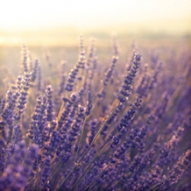 Lavender Fine, Wild Essential Oil - France Special Distillation