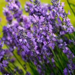 Lavender Fine Essential Oil - France