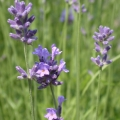 Lavender Essential Oil - Albania