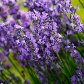 Lavender Maillet Essential Oil