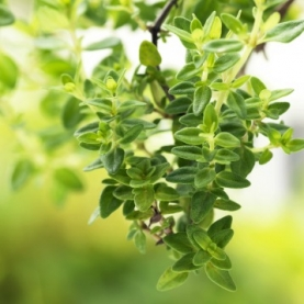 Lemon Thyme Organic Hydrosol